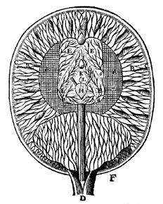 El cerebro según Descartes, en Tratado del Hombre